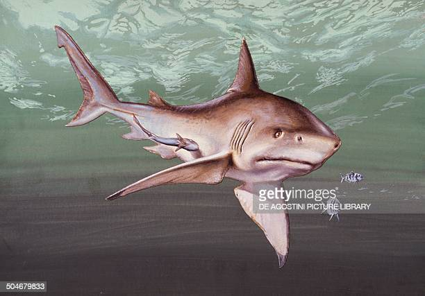 Great white Shark Lamnidae drawing