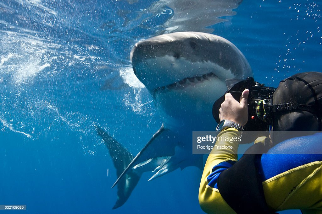 Great white shark (Carcharodon carcharias) making a close pass while photographer leans to take a picture, Guadalupe Island, Mexico : Stock Photo