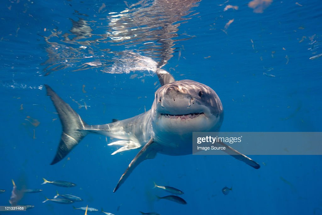 Great White Shark, Mexico : Foto de stock
