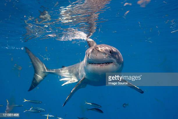 great white shark, mexico - great white shark stock photos and pictures