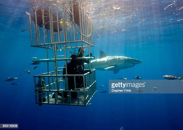 great white shark (carcharadon carcharias) mexico - cage stock pictures, royalty-free photos & images