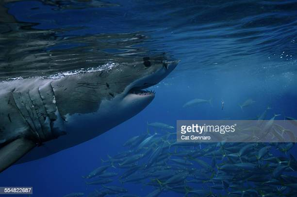 great white shark on surface - megalodon stock photos and pictures