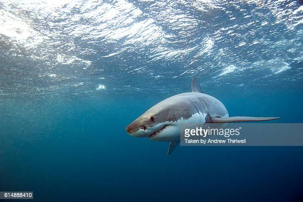 great white shark peering in - great white shark stock photos and pictures