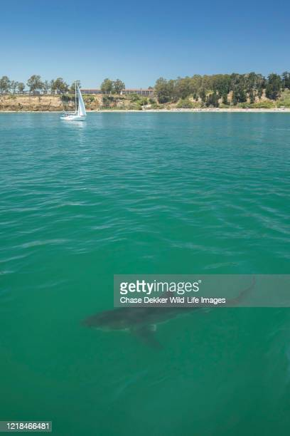 great white shark - california stock pictures, royalty-free photos & images