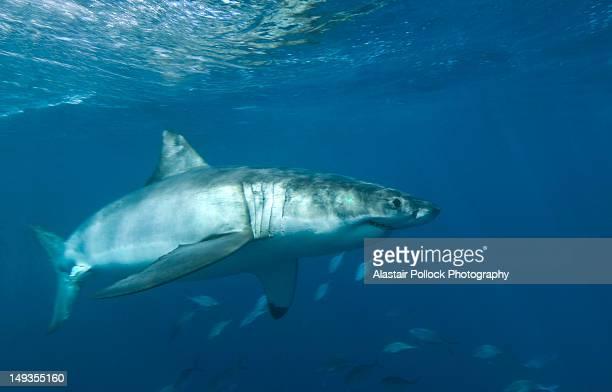 great white shark - ilha netuno - fotografias e filmes do acervo