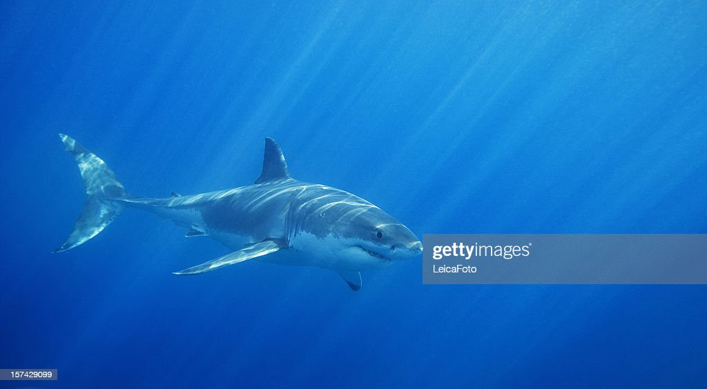 Great White Shark : Stock Photo