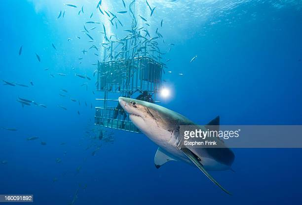 great white shark (carcharodon carcharias) - cage stock pictures, royalty-free photos & images