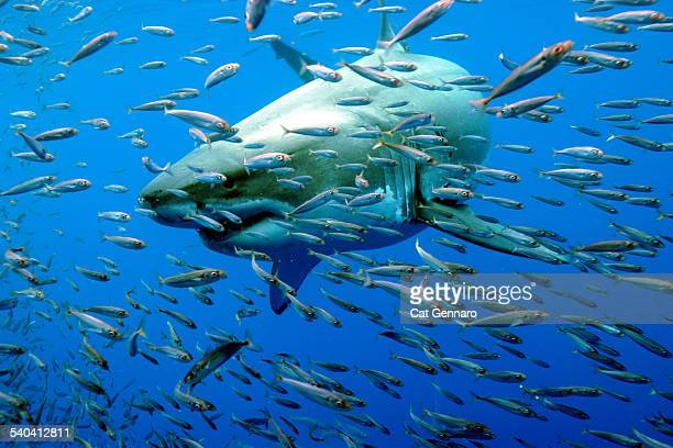 great white shark - megalodon stock photos and pictures