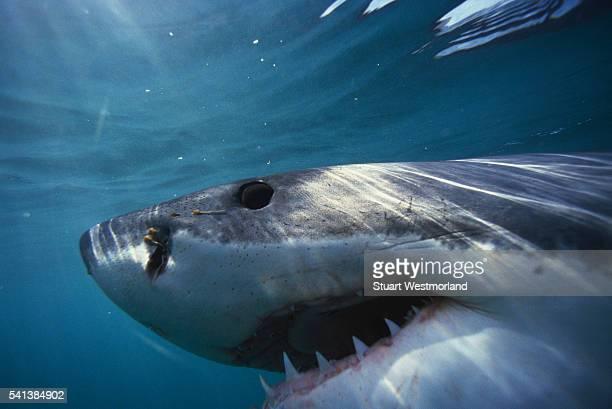 great white shark - great white shark stock pictures, royalty-free photos & images