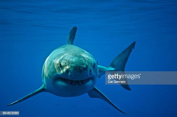 great white shark - sharks stock pictures, royalty-free photos & images