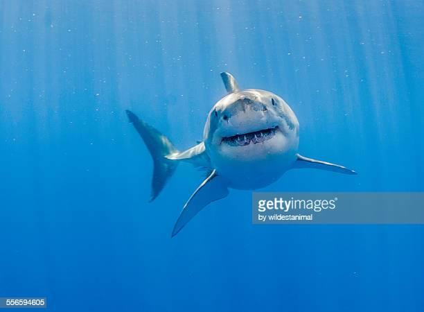 great white shark - great white shark stock photos and pictures