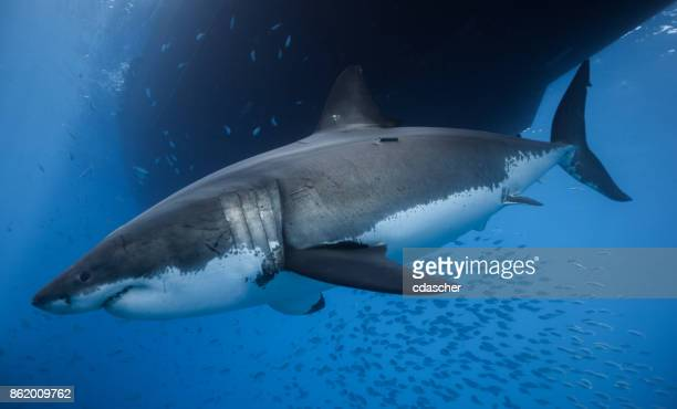 great white shark - cdascher stock pictures, royalty-free photos & images