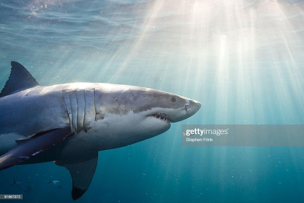 Great White Shark : Foto de stock