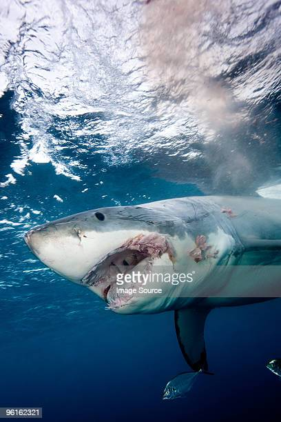 great white shark - shark attack - fotografias e filmes do acervo