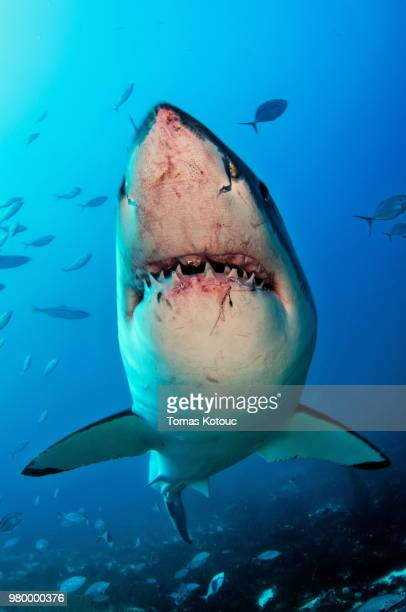 great white shark - animal teeth stock pictures, royalty-free photos & images
