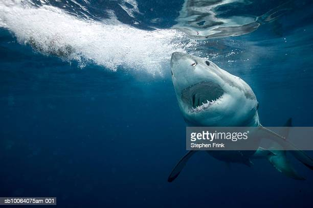 great white shark (carcharodon carcharias) - sharks stock pictures, royalty-free photos & images