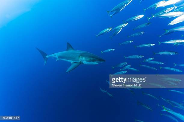 A great white shark says scatter