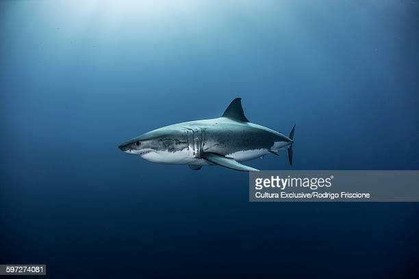Great white shark swimming in pacific ocean, Guadalupe Island, Mexico