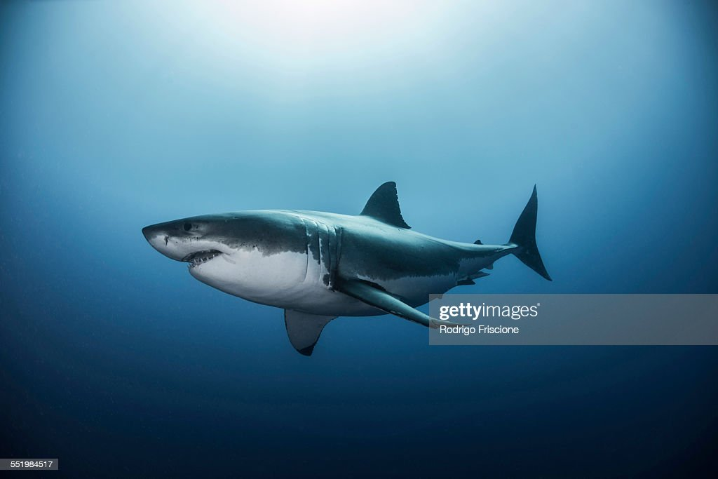 Great white shark (Carcharodon carcharias) swimming in Pacific ocean water of Guadalupe Island, Mexico : Stock Photo