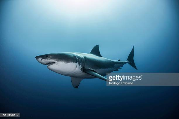 great white shark (carcharodon carcharias) swimming in pacific ocean water of guadalupe island, mexico - sharks stock pictures, royalty-free photos & images