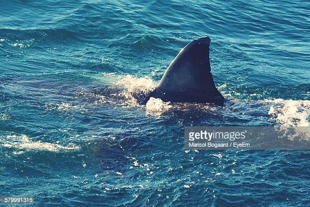 great white shark swimming in sea - sharks stock pictures, royalty-free photos & images