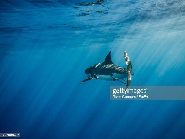 great white shark swimming in sea - shark fin stock photos and pictures