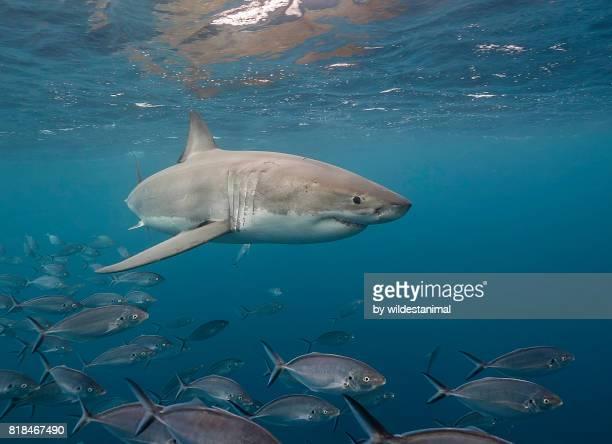 great white shark swimming just under the surface amongst a school of trevally jacks, neptune islands, south australia. - porto lincoln - fotografias e filmes do acervo