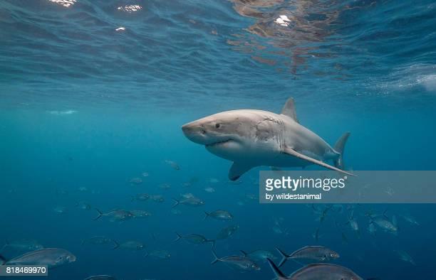 great white shark swimming just under the surface amongst a school of trevally jacks, neptune islands, south australia. - ilha netuno - fotografias e filmes do acervo
