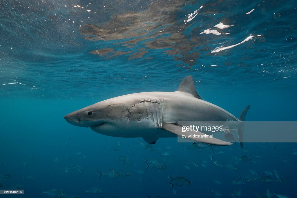 Great white shark swimming just under the surface amongst a school of trevally jacks, Neptune Islands, South Australia. : Stock Photo