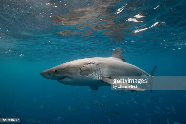 great white shark swimming just under the surface amongst a school of trevally jacks, neptune islands, south australia. - great white shark stock photos and pictures