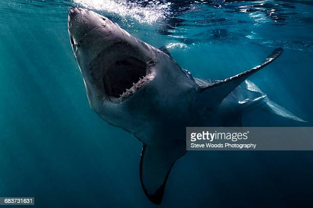 great white shark (carcharodon carcharias) swimming near surface of ocean, gansbaai, south africa - mouth open stock pictures, royalty-free photos & images
