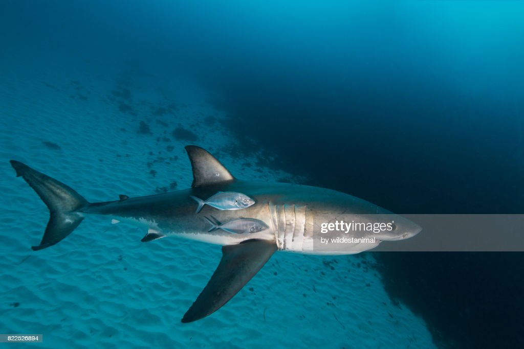 Great white shark swimming near the sandy bottom with some jacks swimming along side of it, North Neptune Islands group, South Australia. : Stock Photo