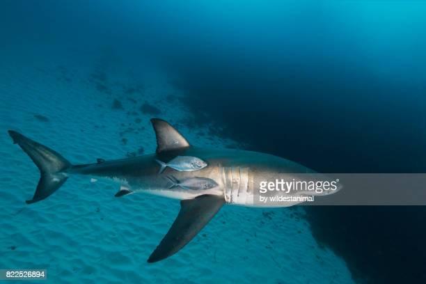great white shark swimming near the sandy bottom with some jacks swimming along side of it, north neptune islands group, south australia. - ilha netuno - fotografias e filmes do acervo