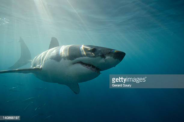 great white shark swimming underwater - great white shark stock pictures, royalty-free photos & images