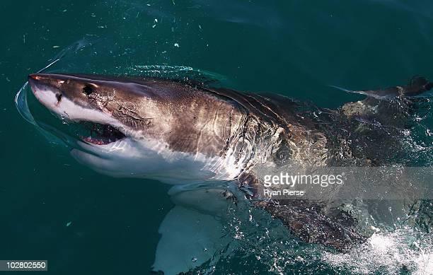 Great White Shark swims in Shark Alley near Dyer Island on July 8 2010 in Gansbaai South Africa