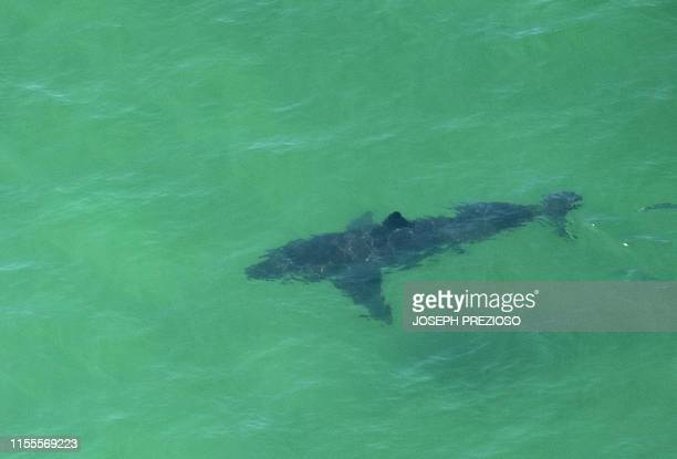 A Great White Shark swims off the shore of Cape Cod Massachusetts on July 13 2019 Three Cape Cod beaches were temporarily closed to swimming on July...