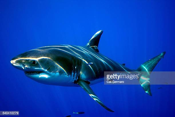 great white shark- tagged - ankle monitor stock pictures, royalty-free photos & images