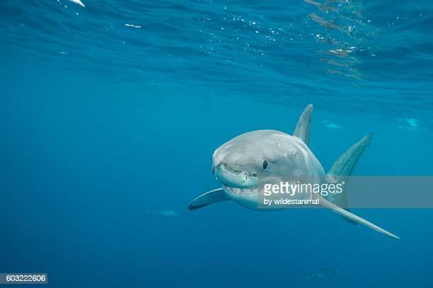 great white shark underwater - ilha netuno - fotografias e filmes do acervo