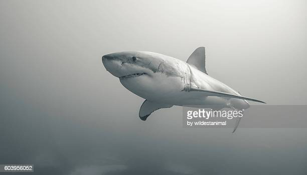 great white shark underwater - great white shark stock photos and pictures