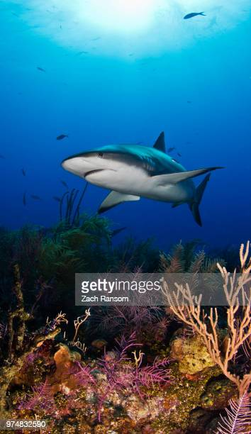 Great white shark (Carcharodon carcharias) underwater