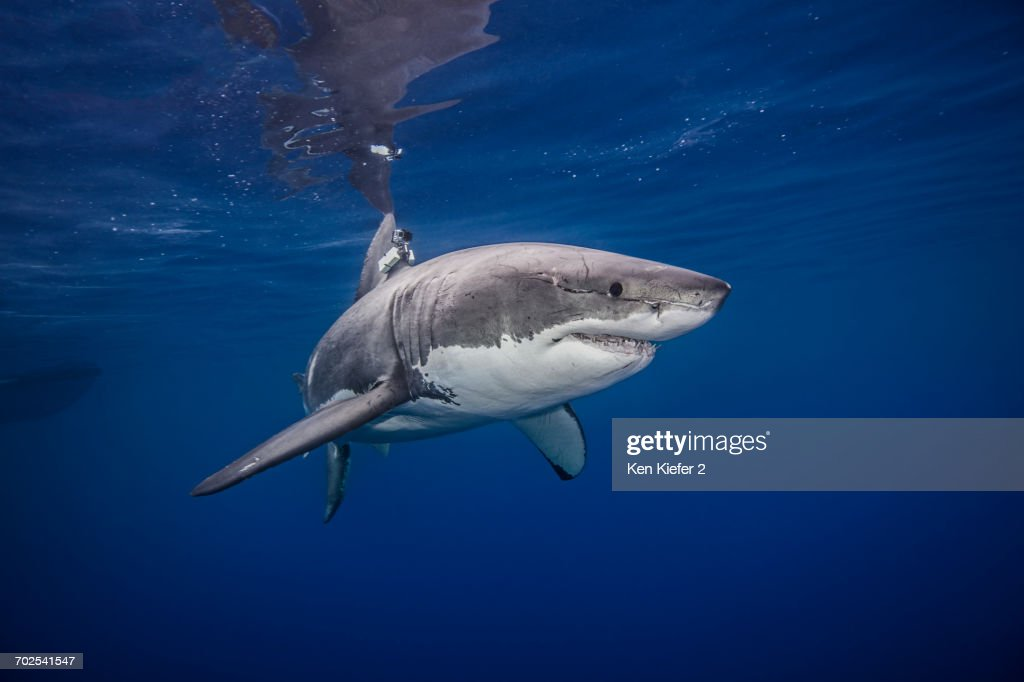 Great white shark, underwater view, Guadalupe Island, Mexico : Stock Photo