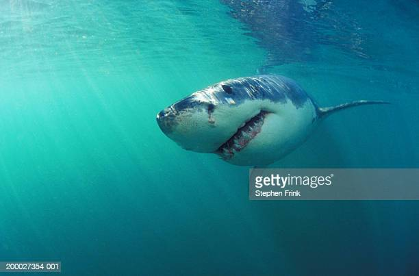 Great white shark (Charcharodon carcharias) underwater view