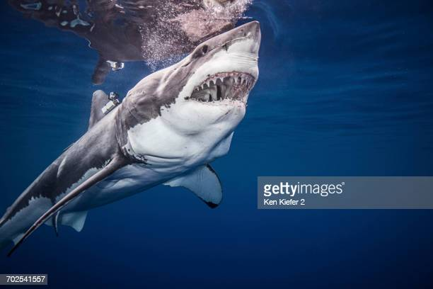 great white shark, underwater view - great white shark stock photos and pictures