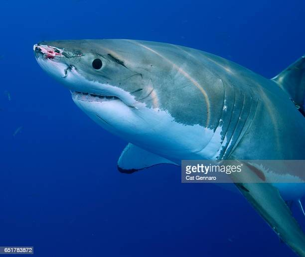 great white shark with bloody snout - megalodon stock photos and pictures