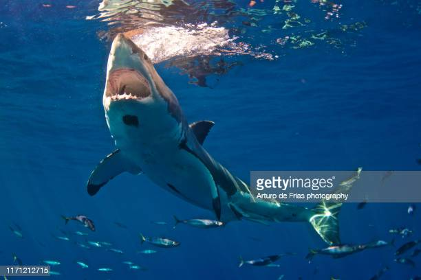 great white shark with huge mouth open, guadalupe, mexico - shark stock pictures, royalty-free photos & images