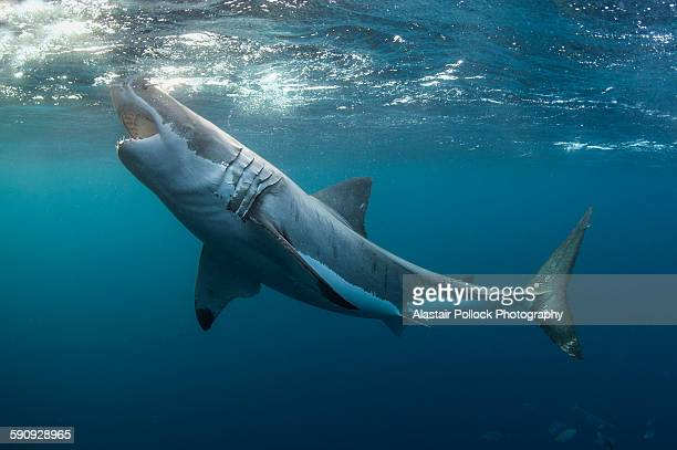 Great white shark with jaws open