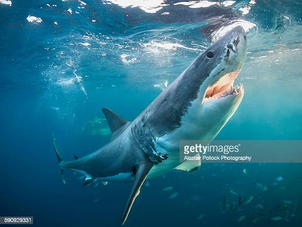 great white shark with open jaws - great white shark stock photos and pictures