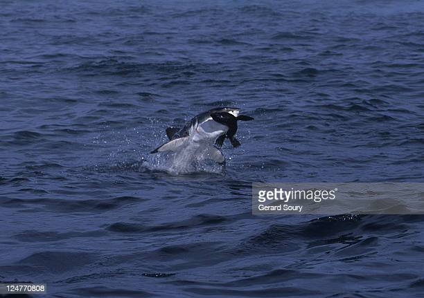 great white shark,carcharodon carcharias, attacking sea lion, s.africa