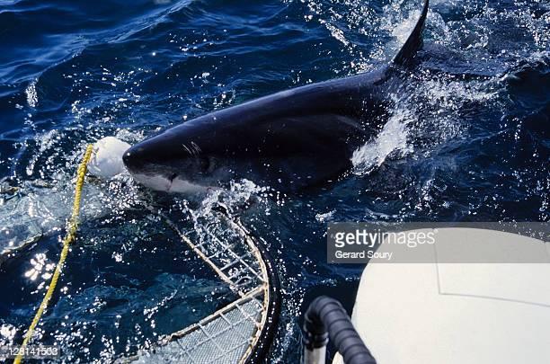 great white shark,carcharodon carcharias, biting cage, gaansbai,s.africa - shark attack - fotografias e filmes do acervo