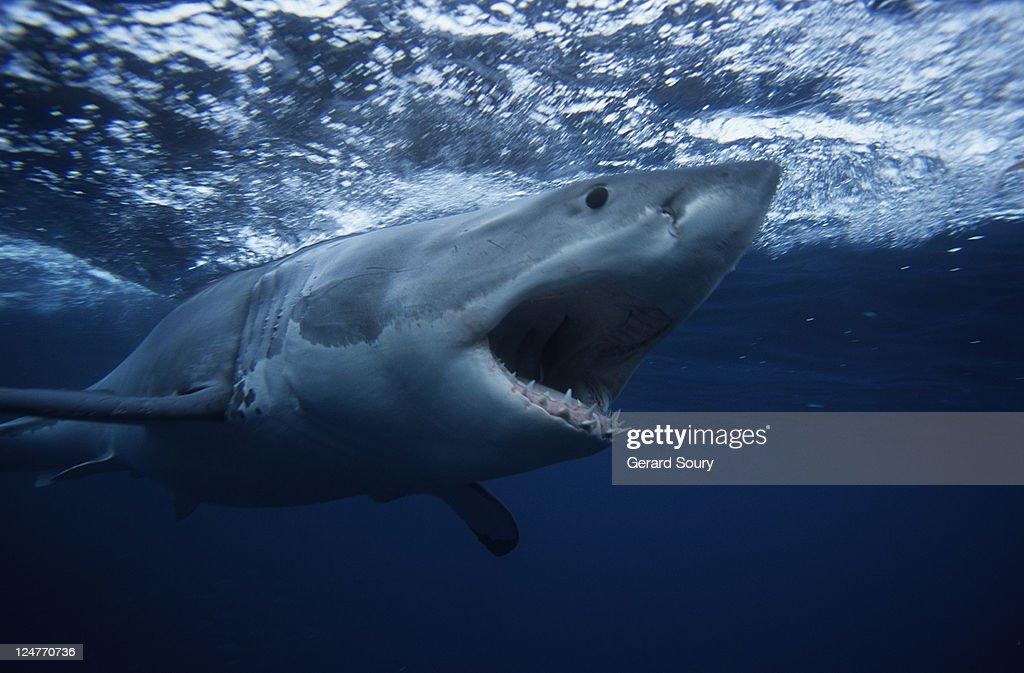 great white shark,carcharodon carcharias, swimming, south australia : Stock Photo